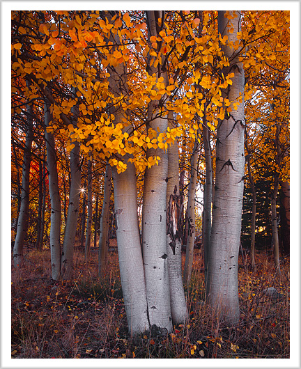 Fall colors of aspen on 4th of July Creek road, Idaho - October 2012