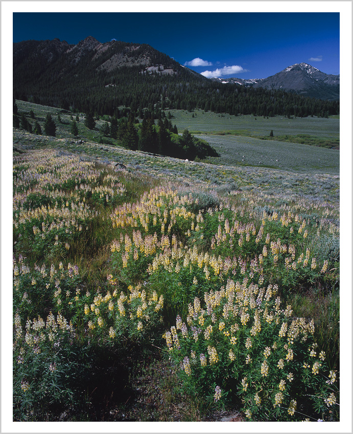 Copper Basin Lupines
